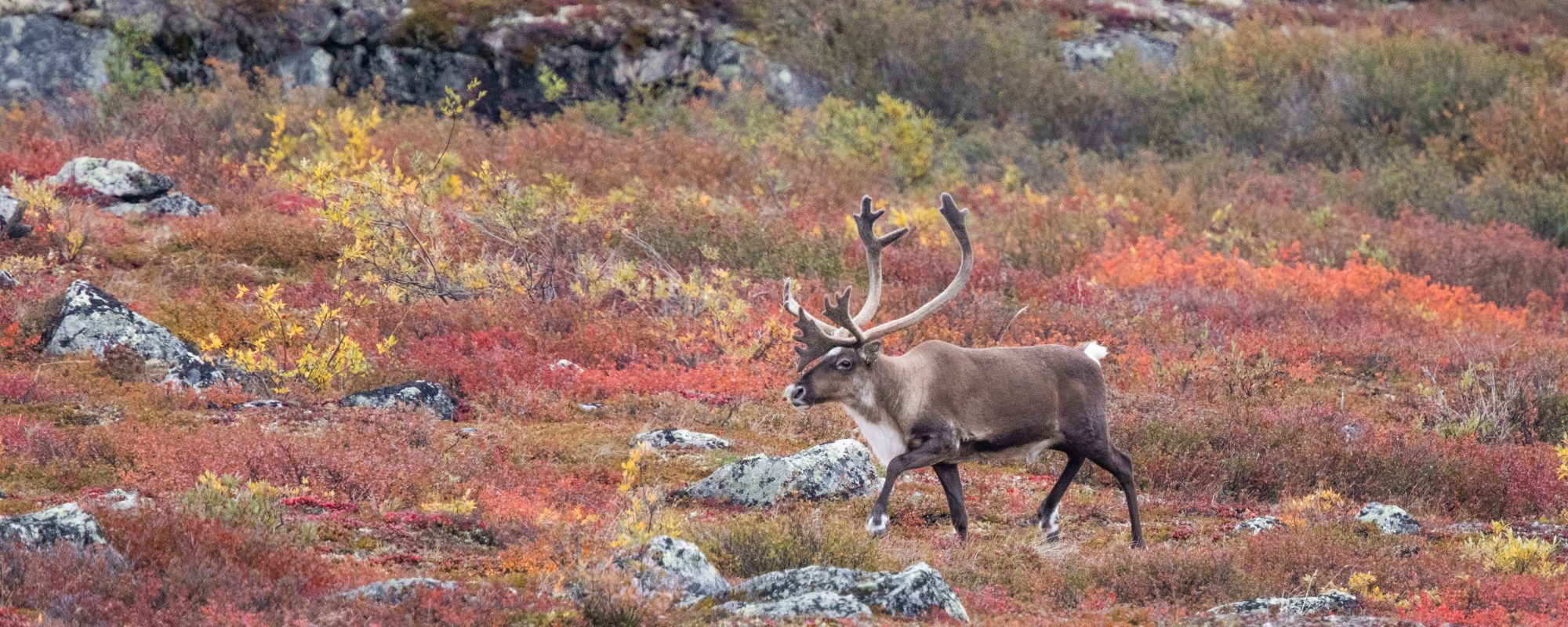 Caribou on barrens in autumn colours