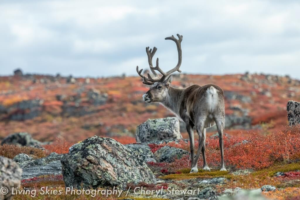 Central Canadian Barrenground Caribou in barrens in autumn