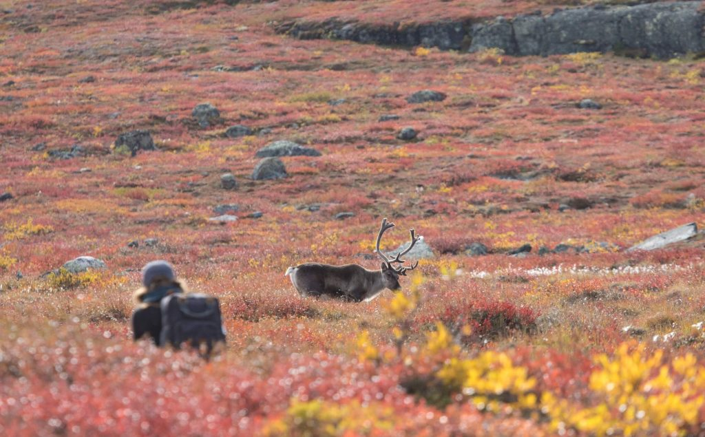Photographer taking a photo of a caribou